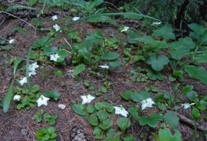 9. La piccola ma profumata piroletta uniflora.