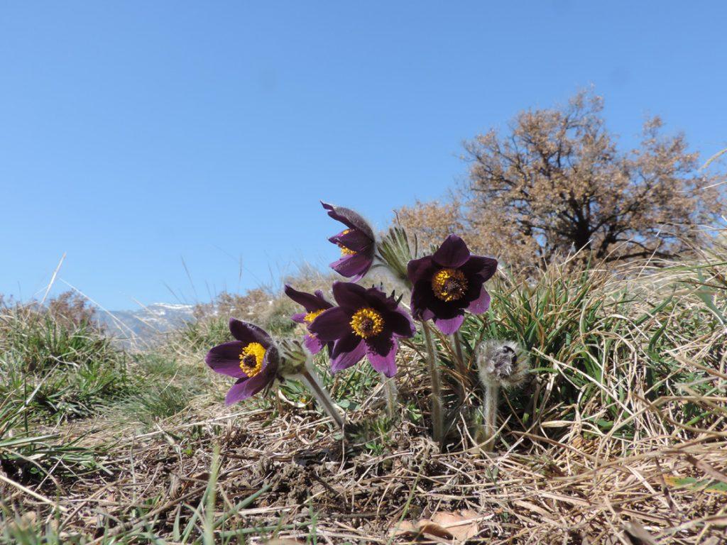Anemone viola