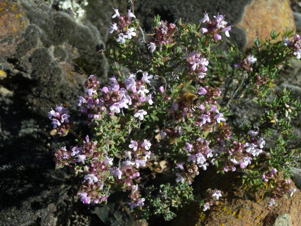 09. Dettaglio dei fiori di Thymus vulgaris.