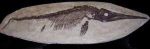 """1. Il fossile """"più pescato"""" nel libro: ittiosauro a Lyme, Inghilterra. Foto Wikipedia Commons."""