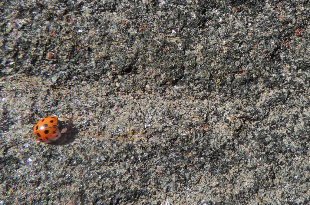 14. La roccia della marmitta di Chadel è formata da un impasto omogeneo e leggermente listato di piccoli cristalli in cui si riconosce l'anfibolo blu-nero e il granato rosso.