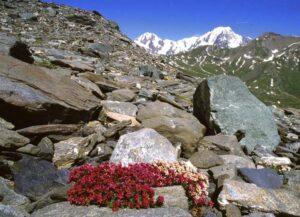Nell'allegra miscellanea del detrito, fra scisti neri, quarziti e prasiniti fiorisce la Saxifraga biflora