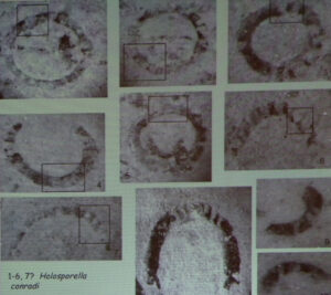 4. Ingrandimento e parziale identificazione dei foraminiferi del Gran Pays. Da Ciarapica et al., 2013.