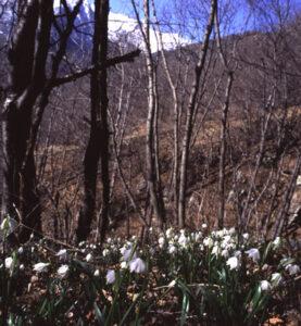 Appena via la neve fioriscono le bianche campanule del Leucojum vernum fra le foglie secche