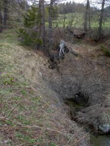 ...e dopo poche decine di metri scompare nel nuovo inghiottitoio in mezzo alle radici dei larici.