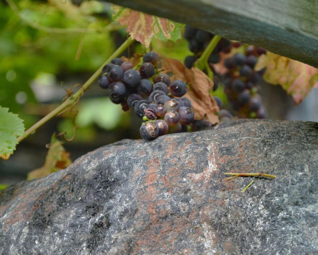 Sui tondi massi di anfibolo blu si adagiano i tralci ed i grappoli, confondendosi con i cristallini rossi del granato.