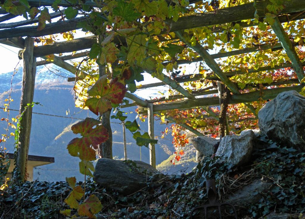Le viti sono sostenute da intelaiature di pali in legno e da piantoni in cemento.