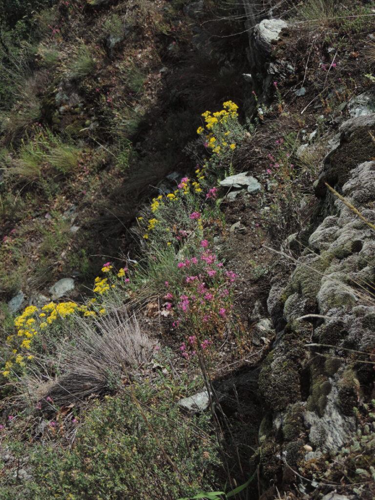 La serpentinite è una roccia di origine profonda, derivante dal mantello terrestre. La sua composizione è quindi particolare e seleziona severamente la flora che vi mette radici. Qui notiamo belle fioriture primaverili di alisso argentato e di silene armeria.